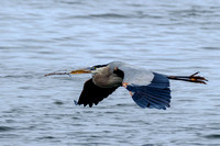 Great Blue Heron in Flight with Twig