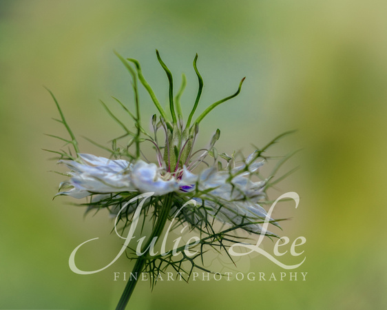 Love-In-A-Mist, Nigella