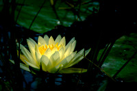 Native Florida Waterlily