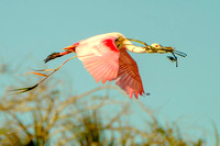 Roseate Spoonbill gathering soft materials to line the nest