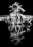 Cypress on Dead Lakes 2